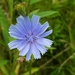 Chicory - Photo (c) Maria Wheeler-Dubas, some rights reserved (CC BY-NC)