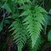 Western Black Spleenwort - Photo (c) ecos de pedra, some rights reserved (CC BY-NC-SA)