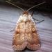 Lycophotia phyllophora - Photo (c) joannerusso,  זכויות יוצרים חלקיות (CC BY-NC)