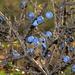 Blackthorn - Photo (c) Arturo Nikolai, some rights reserved (CC BY-NC-SA)