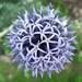 Echinops - Photo (c) beautifulcataya, algunos derechos reservados (CC BY-NC-ND)
