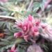 Trifolium andersonii beatleyae - Photo (c) Daniel George, μερικά δικαιώματα διατηρούνται (CC BY-NC)