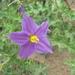 Solanum virginianum - Photo (c) Subhajit Roy, algunos derechos reservados (CC BY-NC-ND)