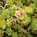 Arctostaphylos purissima - Photo (c) Stephanie Calloway, algunos derechos reservados (CC BY-NC)