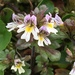 Eyebright - Photo (c) Keith W. Larson, some rights reserved (CC BY-NC)
