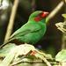 Chlorornis riefferii - Photo (c) Michael Woodruff, alguns direitos reservados (CC BY)