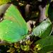 Callophrys - Photo (c) GBorrásG, osa oikeuksista pidätetään (CC BY-NC-ND)