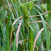 Lupulinae - Photo (c) psweet, μερικά δικαιώματα διατηρούνται (CC BY-SA)