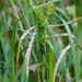 Lupulinae - Photo (c) psweet, algunos derechos reservados (CC BY-SA)