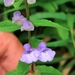 Scutellaria galericulata - Photo (c) Ryan Jacob,  זכויות יוצרים חלקיות (CC BY-NC)