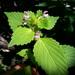 Galeopsis bifida - Photo (c) Paul Norwood, μερικά δικαιώματα διατηρούνται (CC BY-NC)