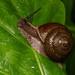Satsuma pekanensis - Photo (c) Liu JimFood,  זכויות יוצרים חלקיות (CC BY-NC)