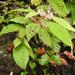 Callicarpa rubella - Photo (c) Mike, algunos derechos reservados (CC BY-NC)