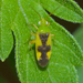 Ornate Plant Bug - Photo (c) Royal Tyler, some rights reserved (CC BY-NC-SA)