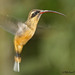 Phaethornis syrmatophorus - Photo (c) Michael Woodruff,  זכויות יוצרים חלקיות (CC BY-SA)