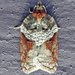 Acleris celiana - Photo (c) joannerusso, μερικά δικαιώματα διατηρούνται (CC BY-NC)
