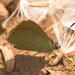 Erora badeta - Photo Ningún derecho reservado
