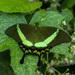 Papilio palinurus - Photo (c) CheongWeei Gan, osa oikeuksista pidätetään (CC BY-NC)