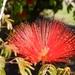Plumerillo Rojo - Photo (c) Joselin Listur., algunos derechos reservados (CC BY)