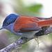 Terpsiphone bourbonnensis - Photo (c) Jerry Oldenettel, algunos derechos reservados (CC BY-NC-SA)