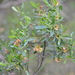 Dodonaea viscosa spatulata - Photo (c) Brad, algunos derechos reservados (CC BY-NC)