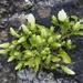 Campanula pendula - Photo (c) Kristof Zyskowski, algunos derechos reservados (CC BY-NC-ND)