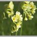 Primula elatior - Photo (c) Dirk Heuer, algunos derechos reservados (CC BY-NC-ND)