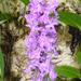 Dactylorhiza urvilleana - Photo (c) Kristof Zyskowski, algunos derechos reservados (CC BY-NC-ND)