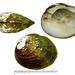 Aculamprotula coreana - Photo (c) Kim, Hyun-tae, μερικά δικαιώματα διατηρούνται (CC BY-NC-SA)