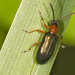 Cereal Leaf Beetle - Photo (c) oldbilluk, some rights reserved (CC BY-NC-SA)
