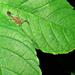 Tityus pusillus - Photo (c) Célio Moura Neto, algunos derechos reservados (CC BY-NC)