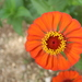 Elegant Zinnia - Photo (c) Luis Díaz-Gamboa, some rights reserved (CC BY-ND)