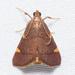 Hypsopygia olinalis - Photo (c) Stott Noble, algunos derechos reservados (CC BY-NC)
