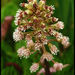 Butterbur - Photo (c) Steve Chilton, some rights reserved (CC BY-NC-ND)