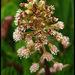 Petasites hybridus - Photo (c) Steve Chilton, algunos derechos reservados (CC BY-NC-ND)