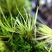 Campylopus clavatus - Photo (c) Kate McCombs, algunos derechos reservados (CC BY-NC)