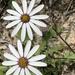 Dimorphotheca pluvialis - Photo (c) natuurvrou,  זכויות יוצרים חלקיות (CC BY-NC)