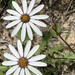 Rain Daisy - Photo (c) natuurvrou, some rights reserved (CC BY-NC)