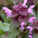 Red Deadnettle - Photo (c) Bastiaan, some rights reserved (CC BY-NC-ND)