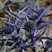Eryngium amethystinum - Photo (c) Giacomo Gola, algunos derechos reservados (CC BY-NC)