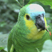 Amazon Parrots - Photo (c) Arthur Chapman, some rights reserved (CC BY-NC-SA)