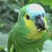 Amazona - Photo (c) Arthur Chapman,  זכויות יוצרים חלקיות (CC BY-NC-SA)