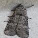 Brachylomia algens - Photo (c) ColinDJones, algunos derechos reservados (CC BY-NC)