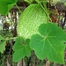 Fig-leafed Gourd - Photo (c) Kai Yan,  Joseph Wong, some rights reserved (CC BY-NC-SA)