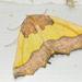 Neoselenia guatama - Photo (c) Ricardo Arredondo T., algunos derechos reservados (CC BY-NC)
