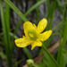 Ranunculus cantoniensis - Photo (c) NOZO, algunos derechos reservados (CC BY-SA)