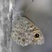 Lasiommata - Photo (c) Nicolas Zwahlen,  זכויות יוצרים חלקיות (CC BY-NC-SA)