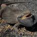 Dragón Barbudo del Este - Photo (c) tobyyy, algunos derechos reservados (CC BY-SA)