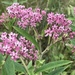 Eastern Swamp Milkweed - Photo (c) Michael Ellis, some rights reserved (CC BY)
