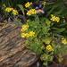 Cineraria geifolia - Photo (c) Tony Rebelo, algunos derechos reservados (CC BY-SA)